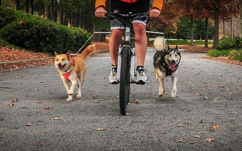 cyclist pulling dogs