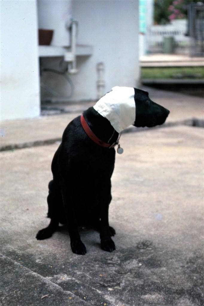 Black dog with bandaged ears