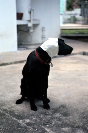 Black dog with bandaged ears