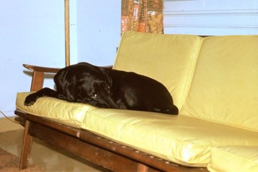 Condor lying on the sofa