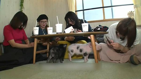 Animal cafe with piglets