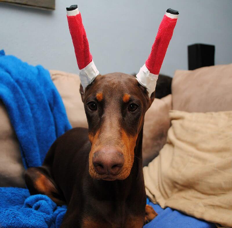 Doberman ear cropping splinted ears