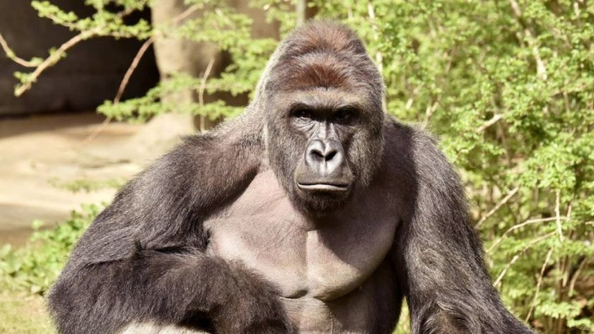 Hrambe the gorilla shot at Cincinnati zoo 2016
