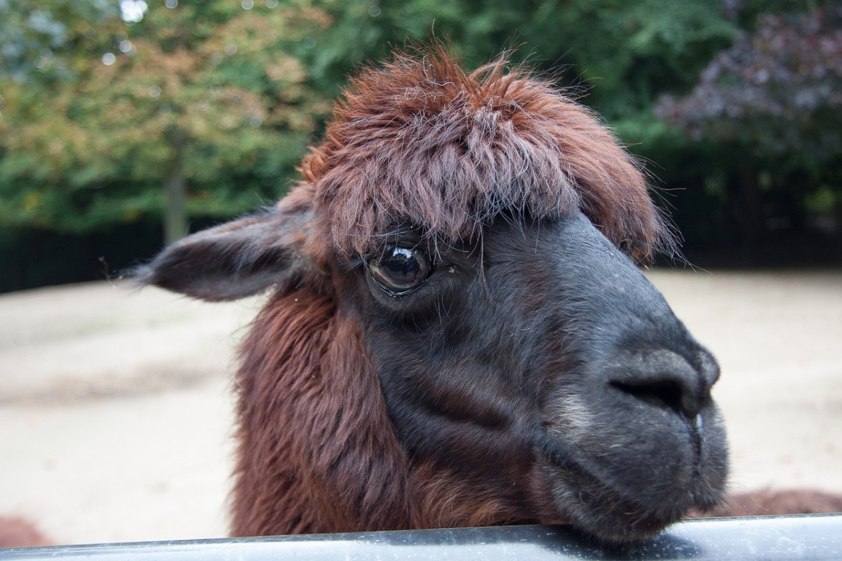 Alpacas the new unwanted.