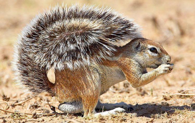 Dlakave zrele vjeverice