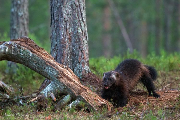 Росомаха животное медведь. Росомаха - свирепая охотница и редкостная добыча