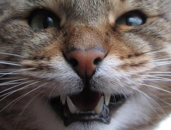 Почему кот скрипит зубами. Почему кошка скрипит зубами: причины физические и психологические