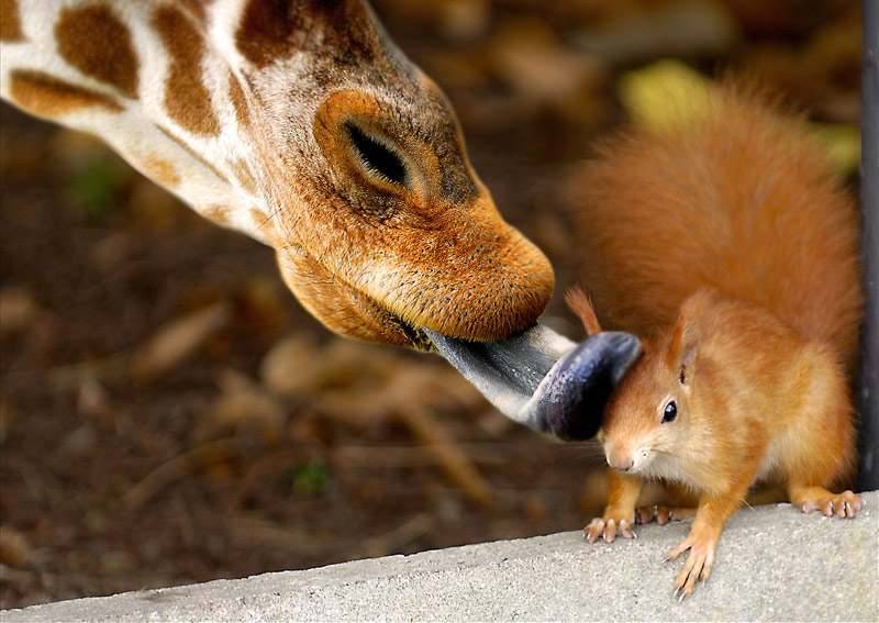 Giraffe Licking Squirrel