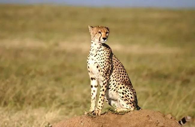 cheetah description habitat image