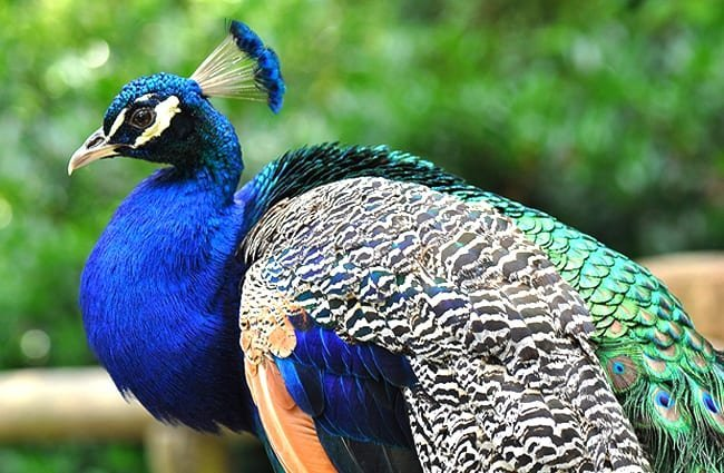 peacock description habitat image