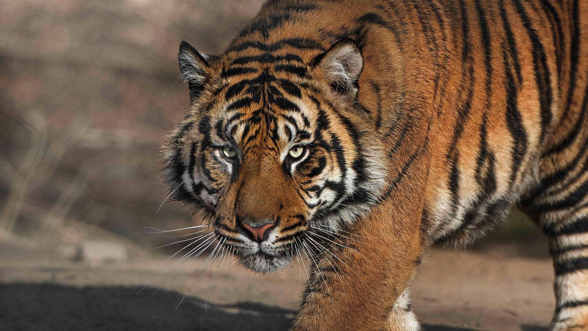 tiger san diego zoo