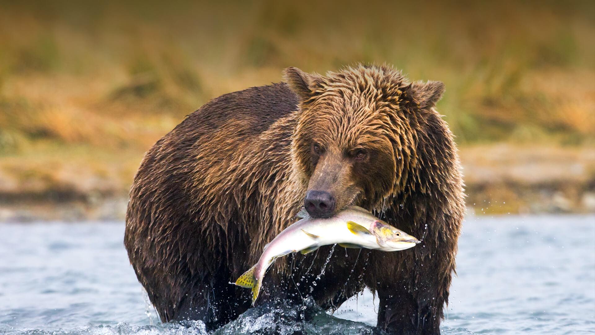 brown bear san diego