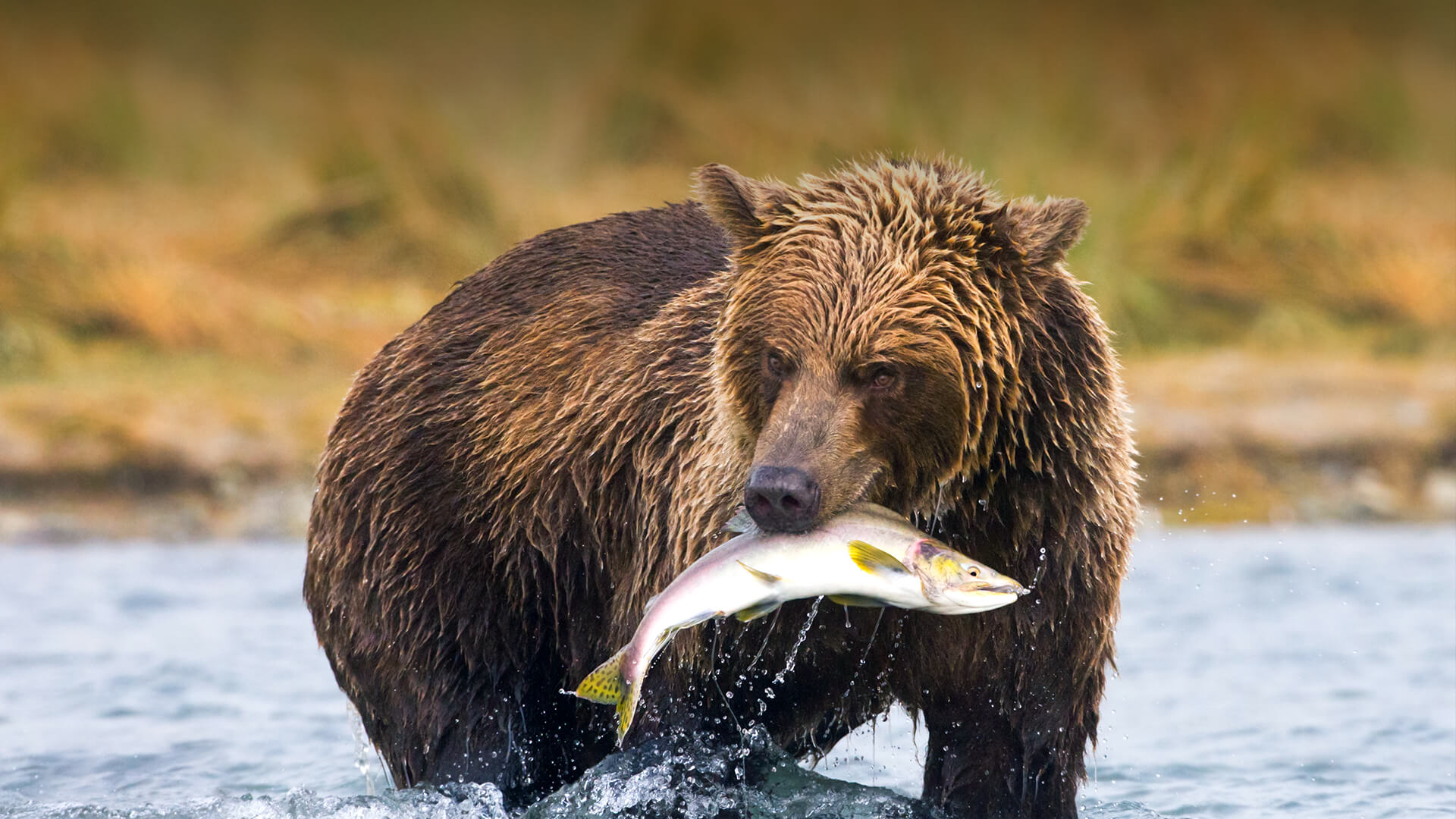 A Grizzly Beratrthat Eats Fish Coloring Page Grizzly Bear That