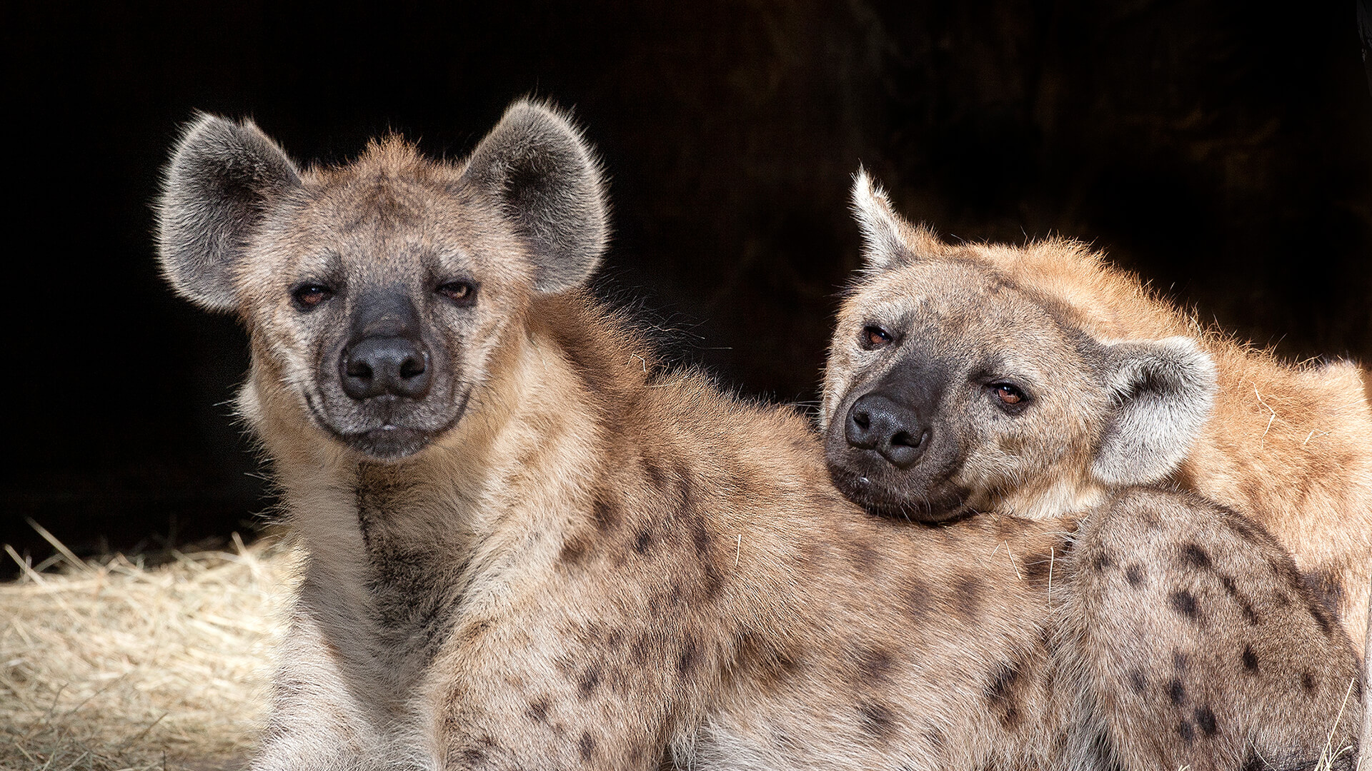 Image result for hyena
