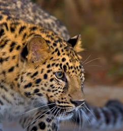 amur leopard looking to the right with blurred jungle background [ 1920 x 1080 Pixel ]