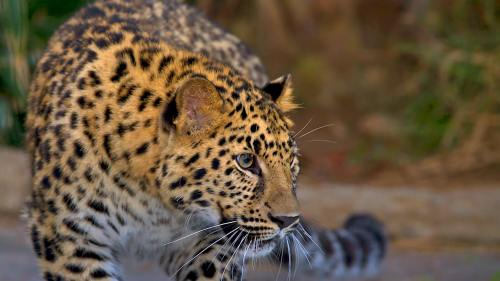 small resolution of amur leopard looking to the right with blurred jungle background