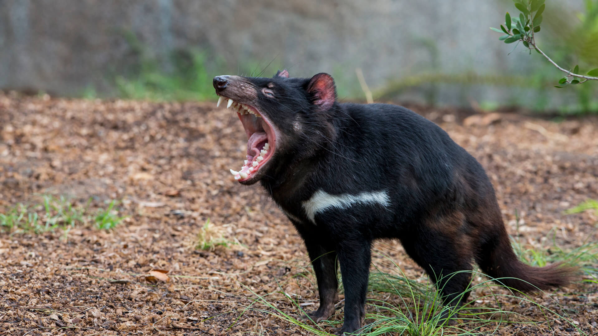 tasmanian devil san diego