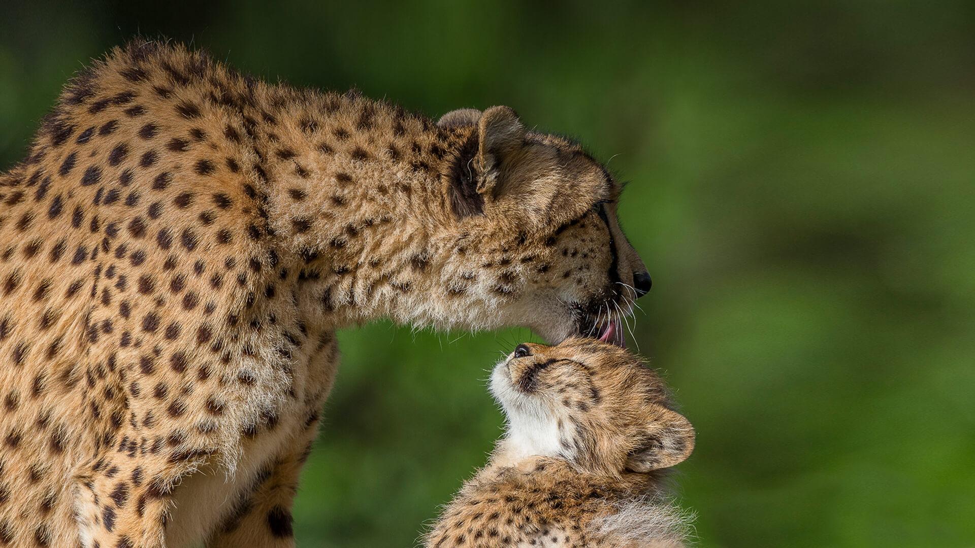 cheetah san diego zoo