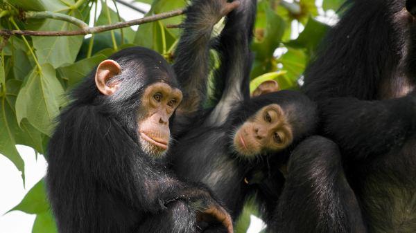 Chimpanzee San Diego Zoo Animals & Plants
