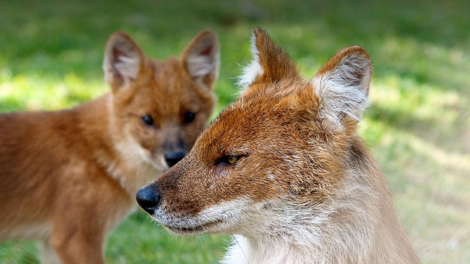 dhole san diego zoo