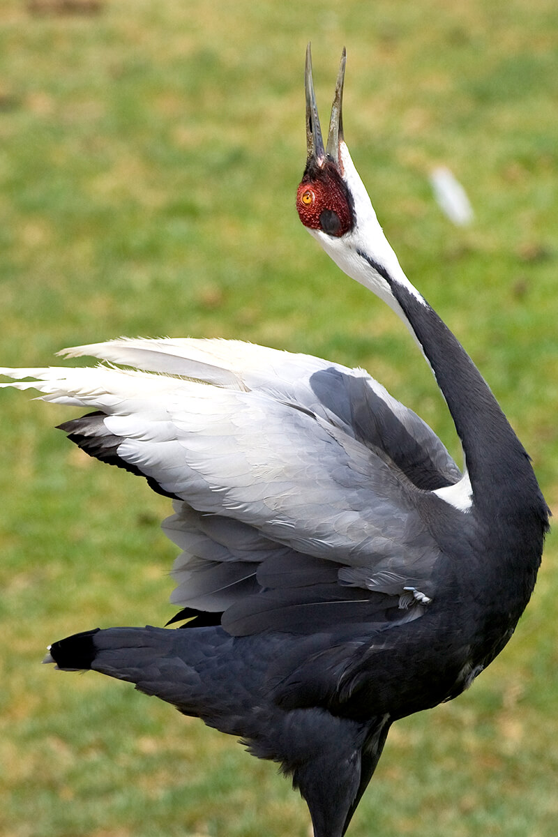 crane san diego zoo