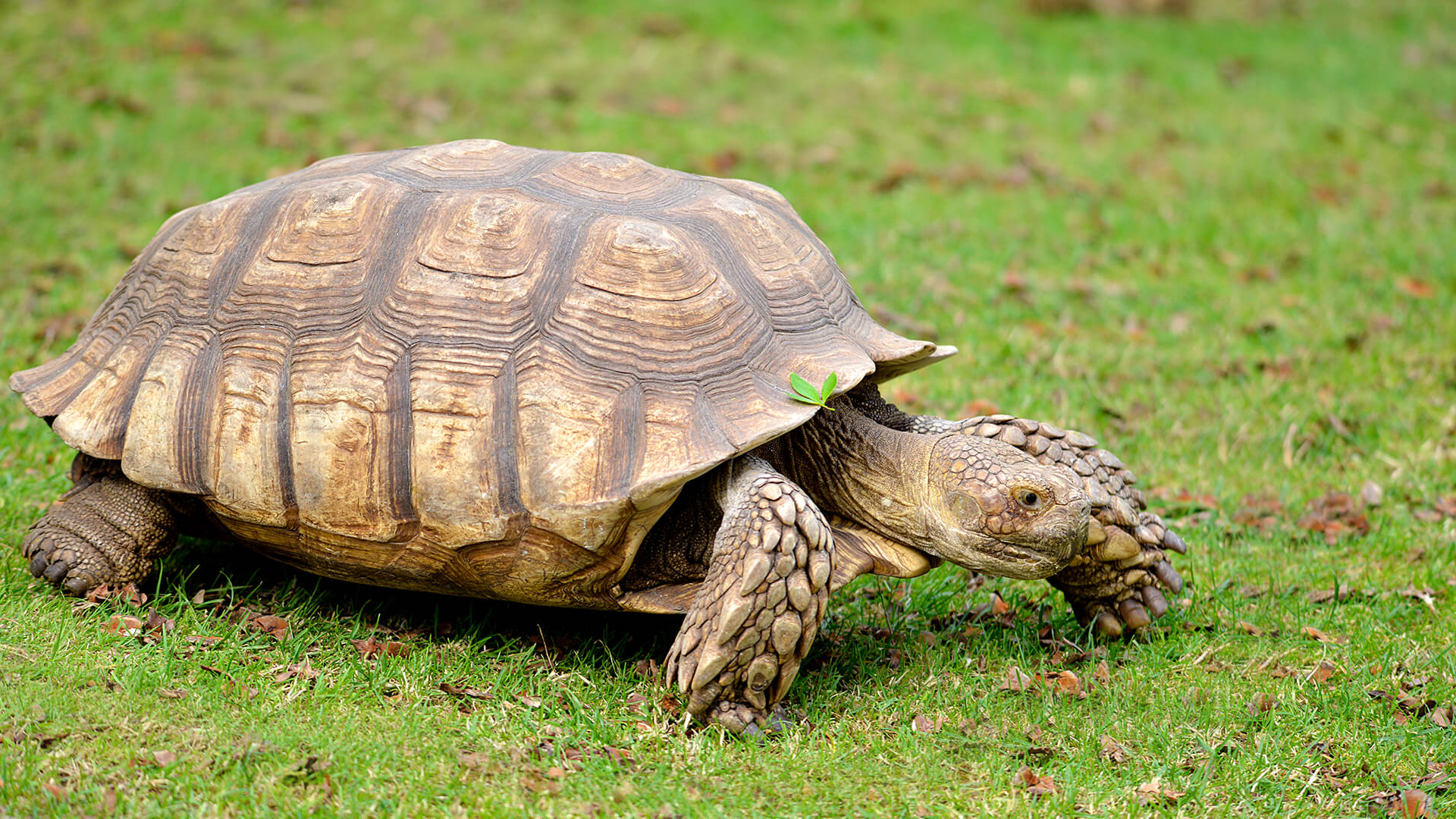 African Spurred Tortoise  San Diego Zoo Animals & Plants