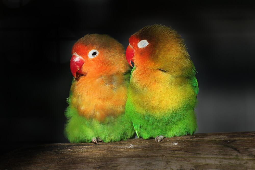 fischer s lovebird san