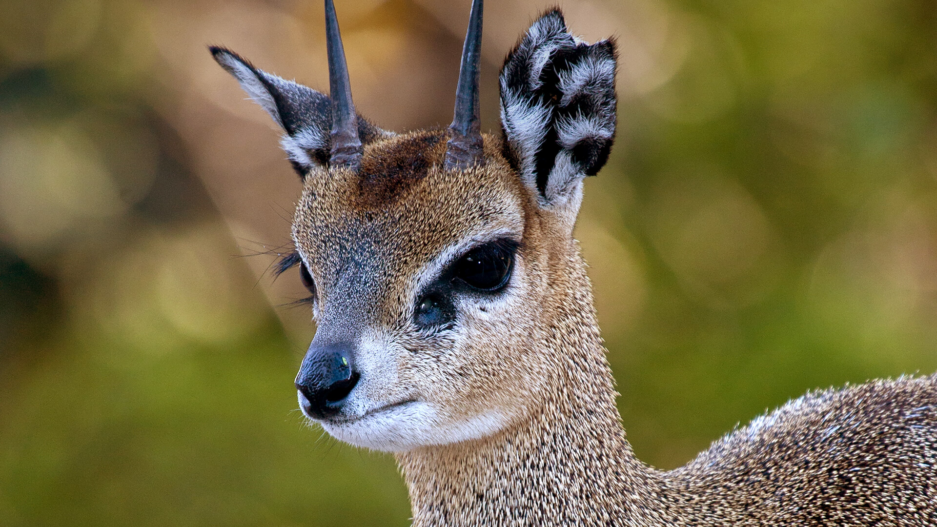 klipspringer san diego zoo