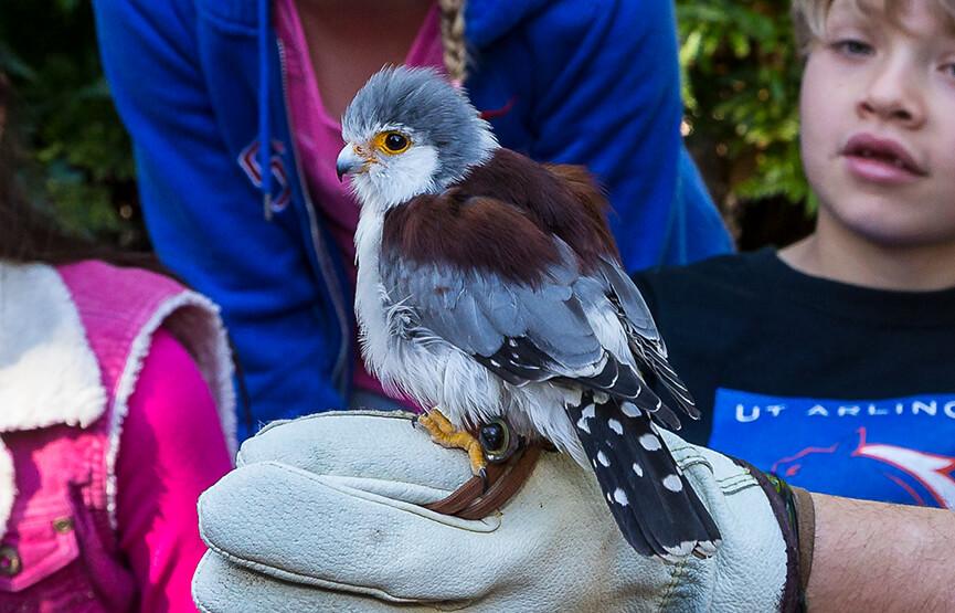 african pygmy falcon san