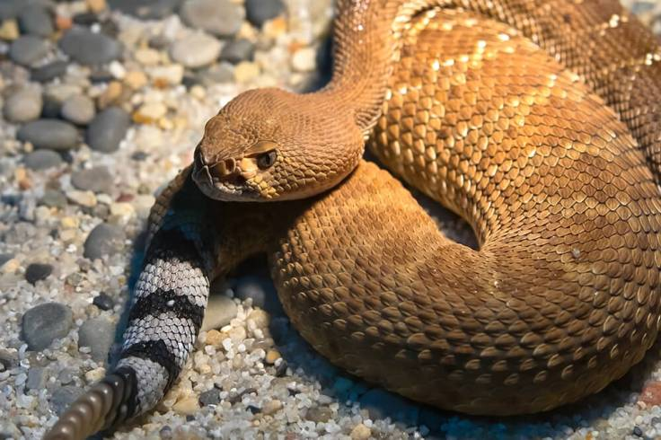 https://i0.wp.com/animals.sandiegozoo.org/sites/default/files/inline-images/rattlesnake_reddiamond.jpg?w=736