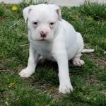 American Bulldog Puppies Breeders Pictures Facts Diet Habitat Animals Adda