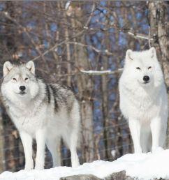 arctic wolf arctic wolf  [ 1528 x 1020 Pixel ]