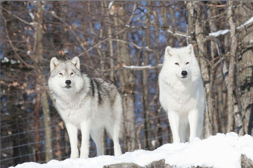 medium resolution of arctic wolf arctic wolf