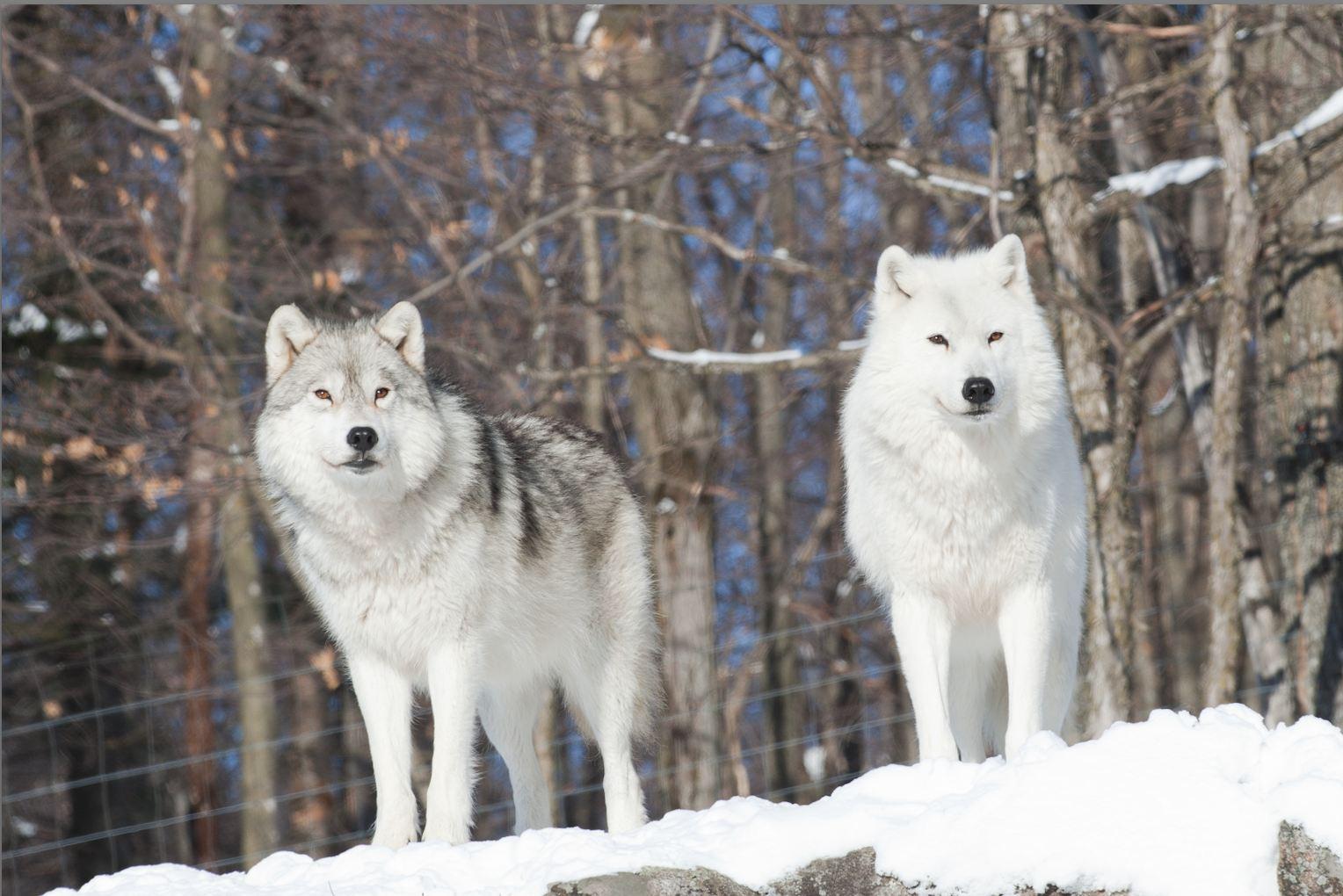 hight resolution of arctic wolf arctic wolf