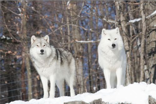 small resolution of arctic wolf arctic wolf