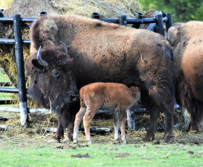 Baby and Mother Bison