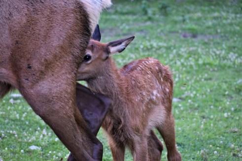Baby Elk Behind Mom