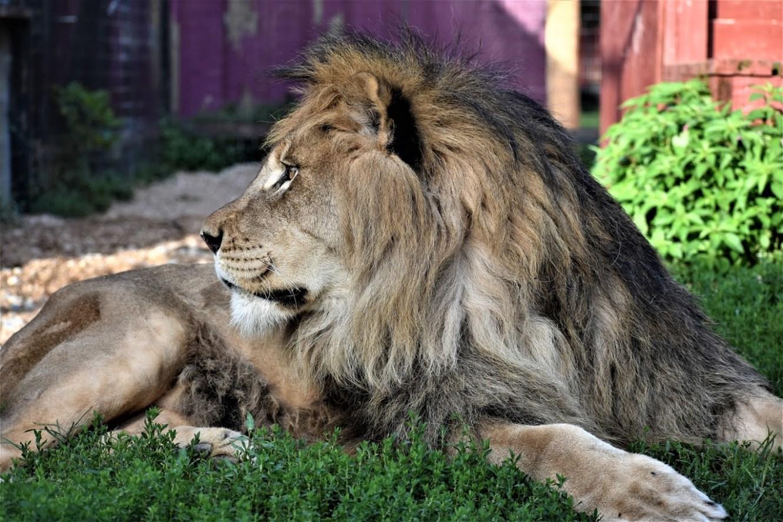 Herc, Lion Profile