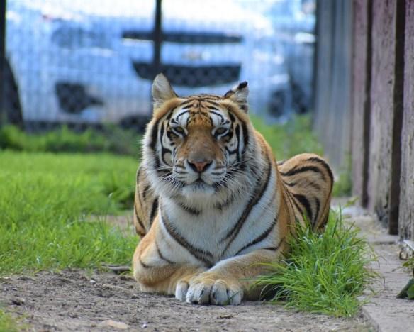 Zahara, Tiger
