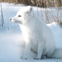 How Do Arctic Foxes Protect Themselves?