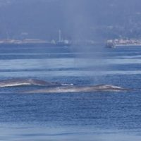 How Many Blue Whales Are Left In The World?