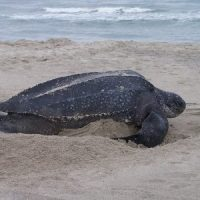 What Do Leatherback Sea Turtles Eat?