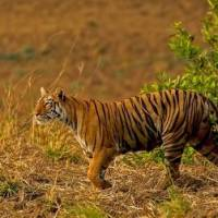 How Long Do Bengal Tigers Live? - Lifespan