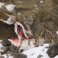What Do Snow Leopards Eat? | Snow Leopard Diet