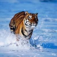 How Fast Can a Tiger Run? - Tiger Running Speed