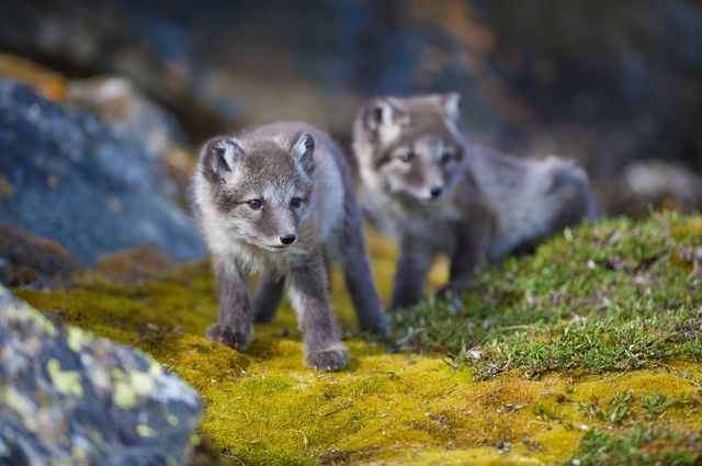 what do arctic foxes