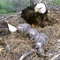 How Long Do Bald Eagles Stay With Their Parents?