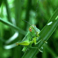 What Do Grasshoppers Eat? - Ultimate Guide to Grasshopper Diet