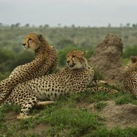 What Do Cheetahs Eat? - Complete Guide to Cheetah Diet & Eating Habits