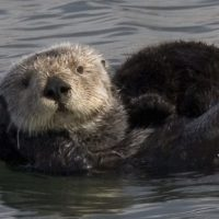 What Do Sea Otters Eat?